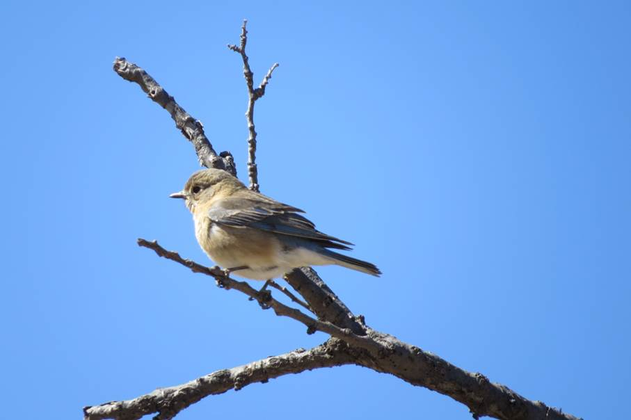 Bluebird at Arizona Ranch