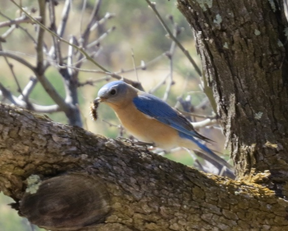 Bluebird at Apache Springs Ranch